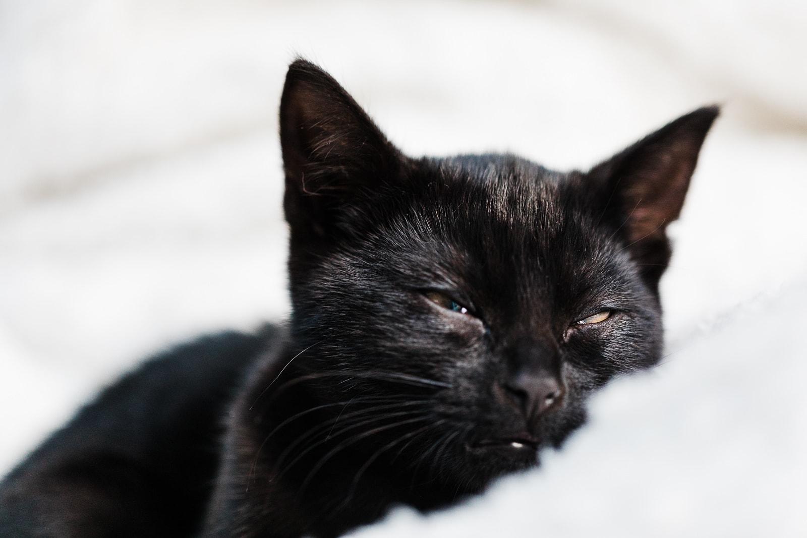sleepy jet black kitten